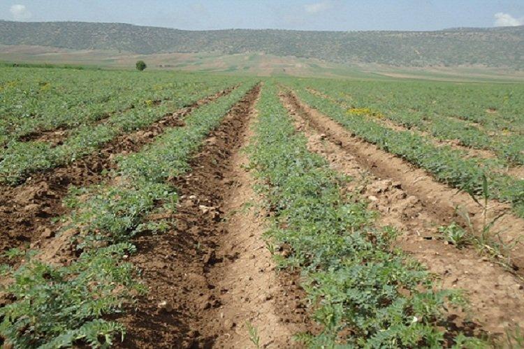 کاهش باران به مزارع دیم بروجرد خسارت شدید وارد کرده است